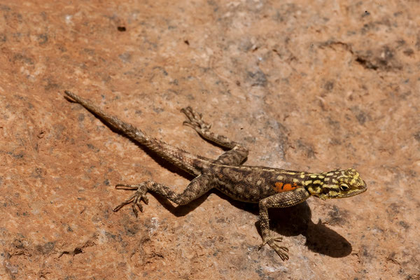 22.2. Namibische Felsenagame, Weibchen (Agama planiceps planiceps)