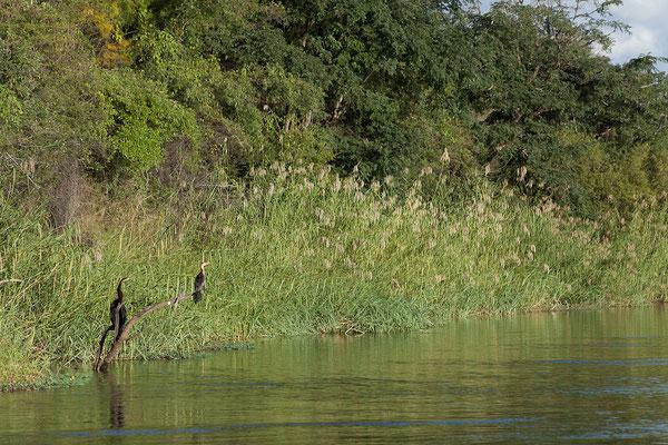 23.4. Bootsfahrt auf dem Kavango: African darter - Anhinga rufa