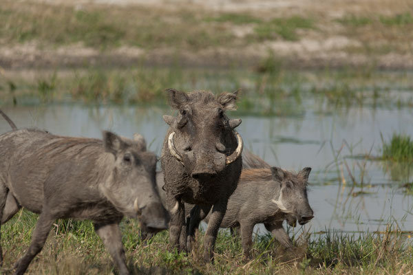 09.05. Moremi GR; Warzenschweine - Phacochoerus africanus