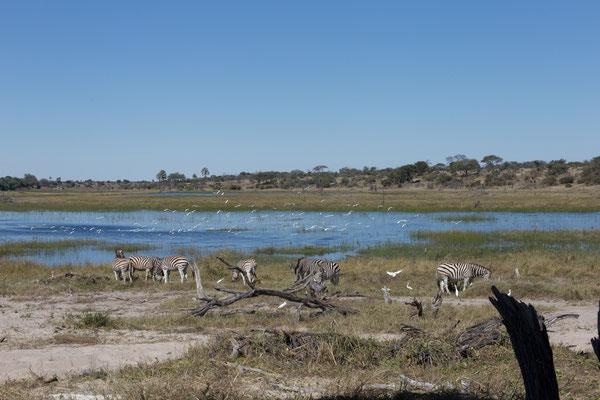 14.05. Makgadikgadi Pans NP, Zebras (Equus quagga)