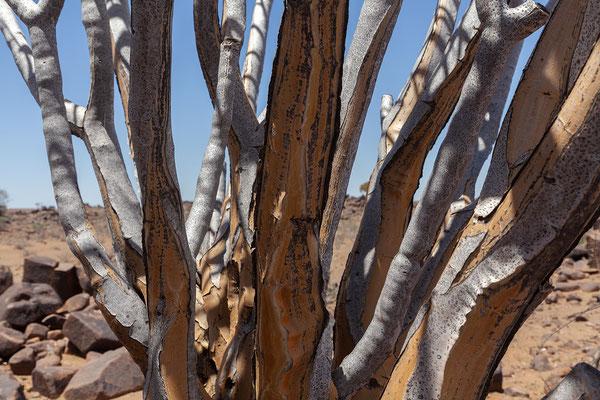 13.02. Mesosaurus Farm Tour, Köcherbaum - Aloe dichotoma