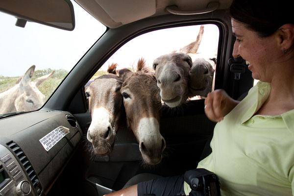"""Im Sanctuary """"freilebende"""" Esel, die gefüttert werden wollen."""