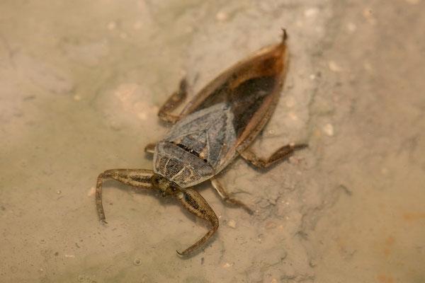 24.2. Etosha - Wasserskorpion (Belastomatidae)