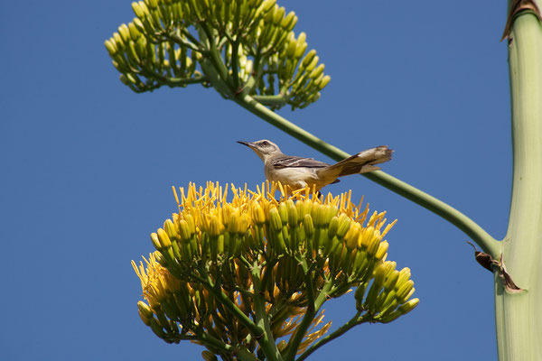 Washington Slaagbai National Park - Mimus gilvus, Tropical Mockingbird