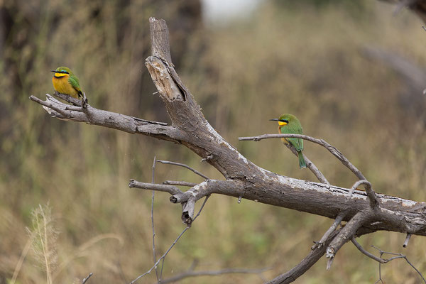 25.4. Mahango Game Reserve, Little Bee-eater - Merops pusillus