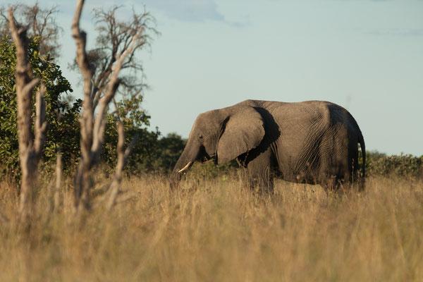 05.05. Chobe NP; Elefanten - Loxodonta africana