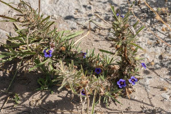 12.05. Nxai Pan NP, Veld violet - Aptosimum lineare