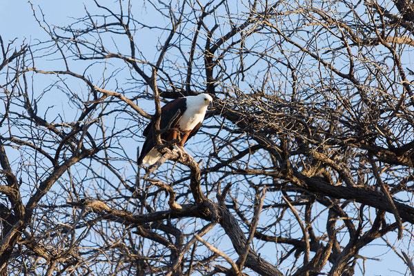 23.4. Bootsfahrt auf dem Kavango: African fish eagle - Haliaeetus vocifer