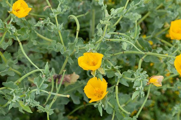 28.05. Cap Corse, Glaucium flavum - Hornmohn