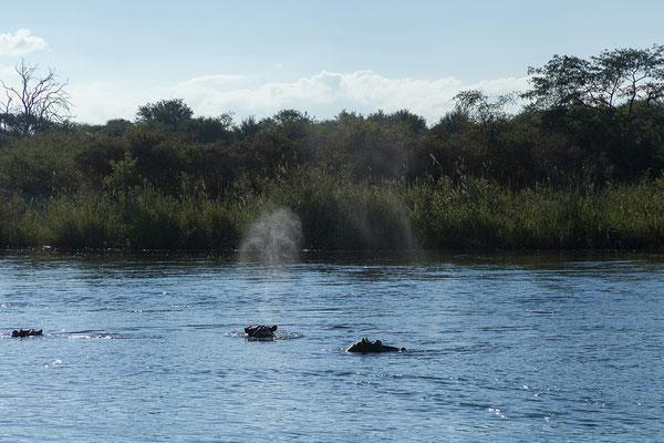 25.4. Bootsfahrt am Kavango, Flusspferde - Hippopotamus amphibius