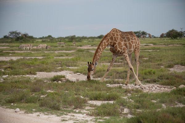 26.2. Etosha - Giraffa camelopardalis (Giraffe)