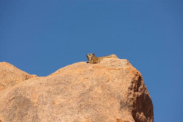 14.2. Klippschliefer tummeln sich in den Felsen (Procavia capensis)