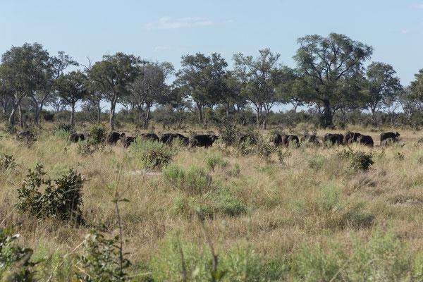 07.05. Chobe NP; Unterwegs treffen wir u.a. auf eine riesige Büffelherde (Syncerus caffer).