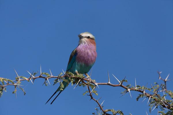 14.05. Makgadikgadi Pans NP, Lilac-breasted roller - Coracias caudatus