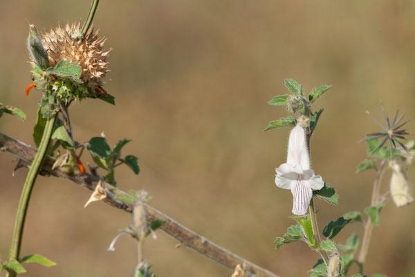 06.05. Chobe NP; Wild foxglove - Cerathoteca triloba