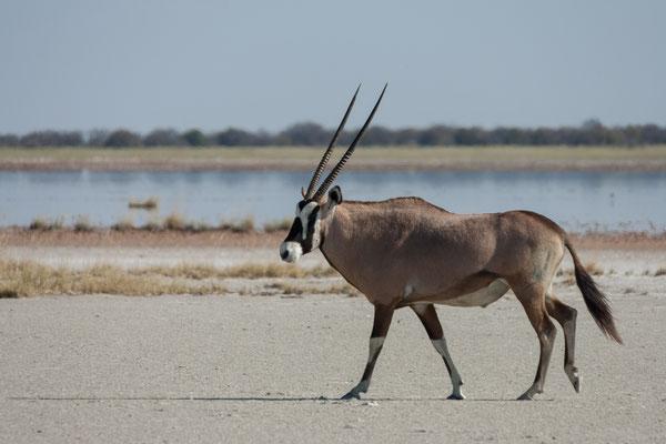 12.05. Nxai Pan NP, Oryx - Oryx gazella