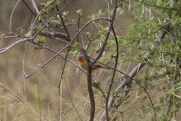 25.4. Mahango Game Reserve, Green-winged pytilia - Pytilia melba