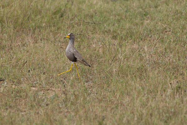 25.4. Mahango Game Reserve - African wattled lapwing/plover - Vanellus senegallus