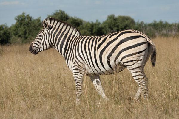 05.05. Chobe NP; Steppenzebra - Equus burchelli