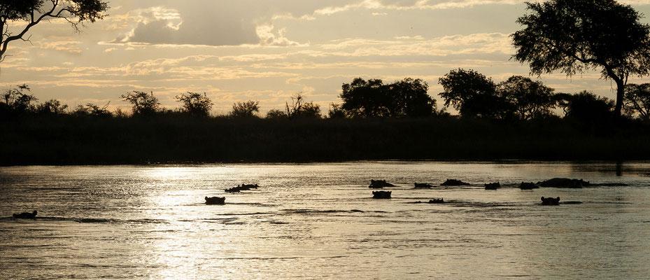 27.4. Mavunje - Bootstour; Flusspferde - Hippopotamus amphibius