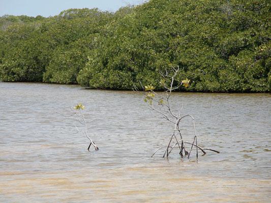 Südküste: Mangroven