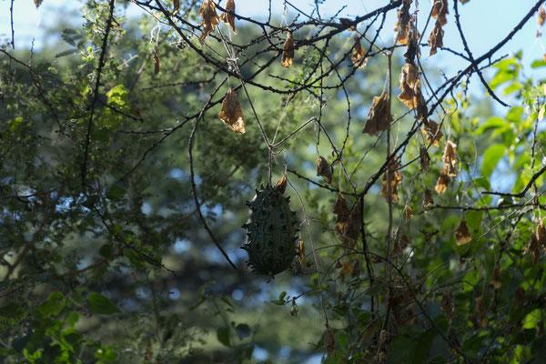 04.05. Muchenje, Bitter wild cucumber - Cucumis metuliferus