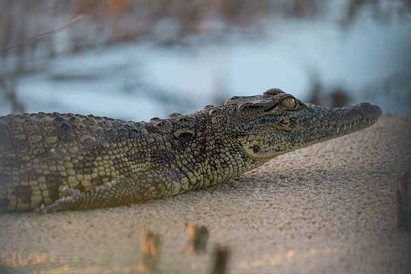 23.4. Bootsfahrt auf dem Kavango: Nilkrokodil - Crocodylus niloticus
