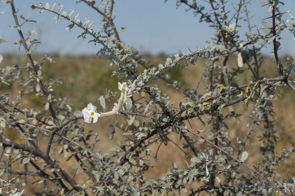 11.05. Nxai Pan NP, Trumpet thorn - Catophractes alexandri