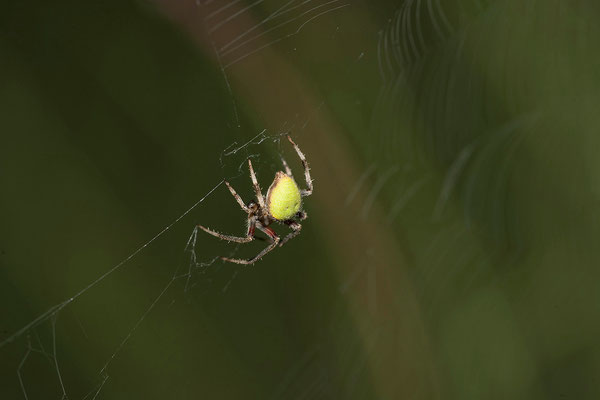 27.2. Orb-web spider (Araneinae)