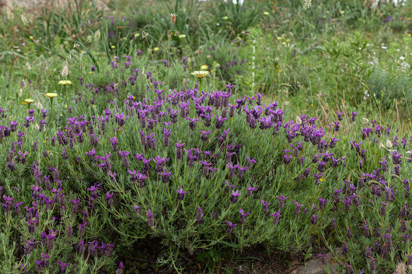 31.05. Balagne; Lavandula stoechas - Schopf-Lavendel