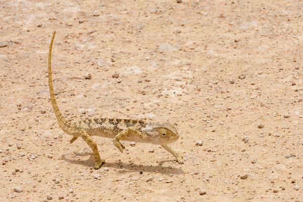 25.2. Etosha - Flap-neck chameleon (Chamaeleo dilepis)