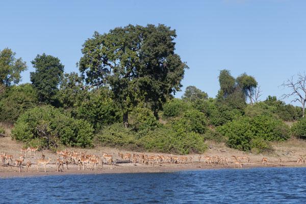02.05. Bootstour auf dem Chobe, Impalas - Aepyceros melampus