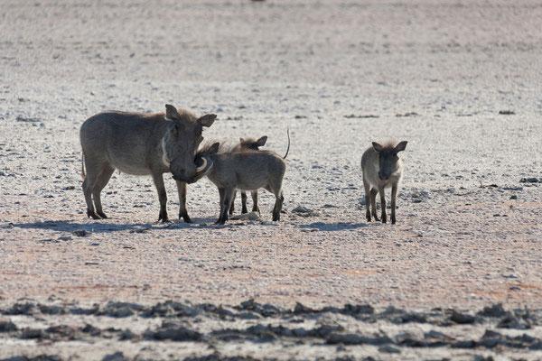 13.05. Nxai Pan NP, Warzenschweine - Phacochoerus africanus