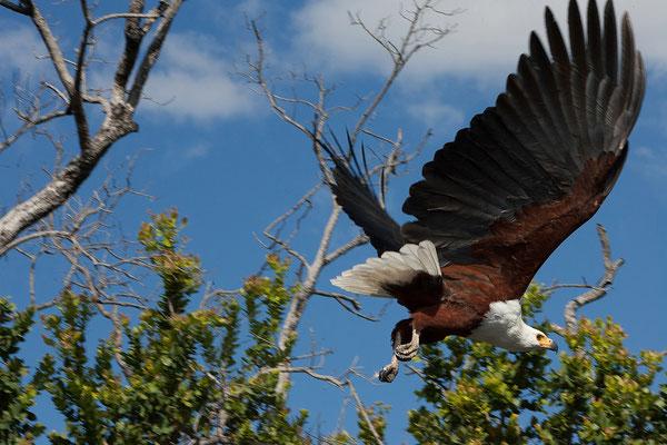 27.4. Mavunje - Bootstour; African fish eagle - Haliaeetus vocifer