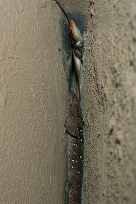 23.4. Nachtexkursion auf unserer Campsite. Gecko und Mabuye teilen sich den Schlafplatz.
