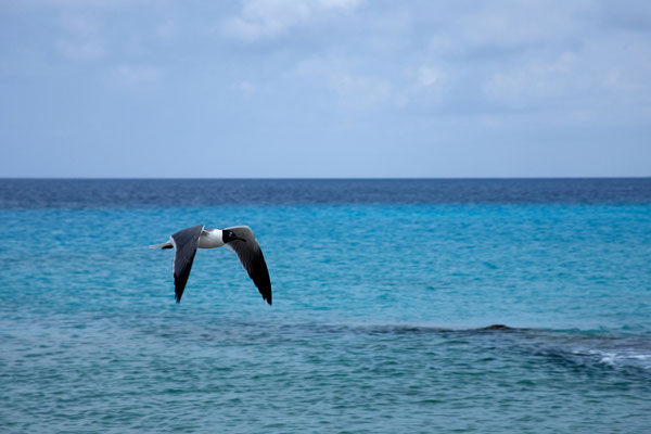 """""""Tori's Reef"""" - Larus atricilla, Laughing Gull"""