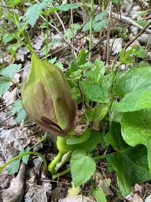 Arum maculatum (Aronstab)