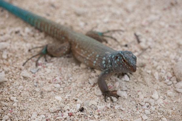 """Andrea I"" - Cnemidophorus murinus ruthveni, Bonaire whiptail lizard"