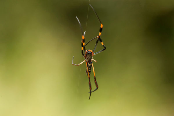 28.2. Banded-legged nephila (Nephila senegalensis)
