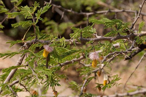 22.2. Sickle bush (Dichrostachys cinerea)