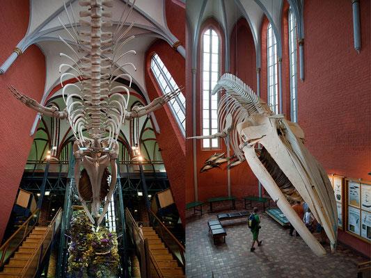 23.7.  Stralsund - Das Meeresmuseum befindet sich im ehemaligen Katharinenkloster. In zahlreichen Ausstellungen werden Infos zu Fischerei, Meeresschutz, Ozeanforschung und Flora und Fauna des Ostseeraums geboten.