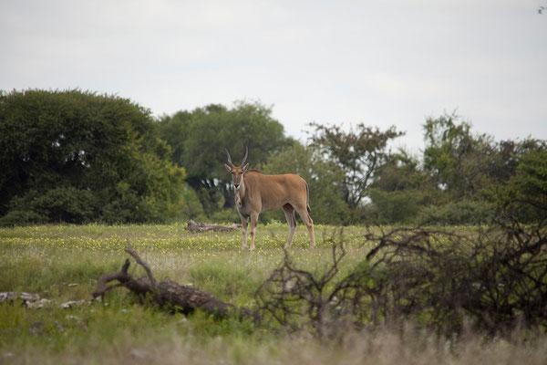 27.2. Etosha - Taurotragus oryx (Elenantilope)