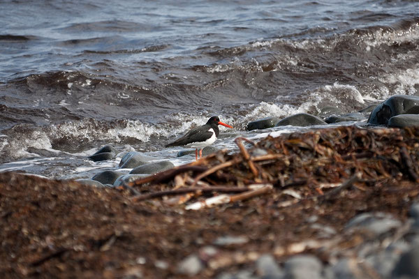4.8. Tjörnes Halbinsel - Austernfischer (Haematopus ostralegus)