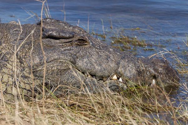 02.05. Bootstour auf dem Chobe, Nilkrokodil - Crocodylus niloticus
