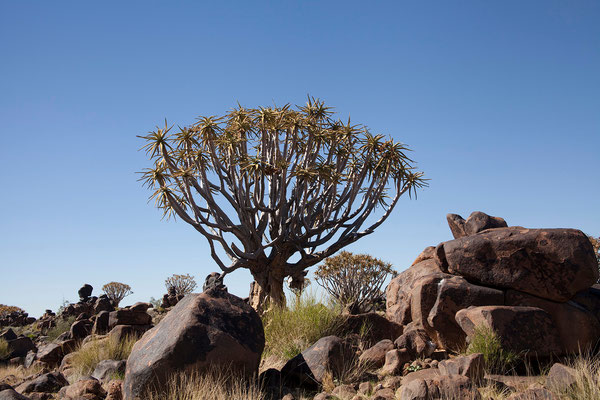 12.2. Köcherbaum (Aloe dichotoma)