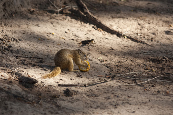 04.05. Chobe NP - Linyanti Campsite; Buschhörnchen - Paraxerus cepapi