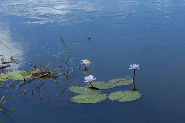 23.4. Hakusembe River Lodge (Rundu), Blue waterlily - Nymphaea nouchali caerulea