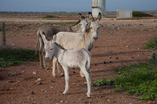 An der Ostküste - überall auf der Insel kann man wild lebende Esel treffen