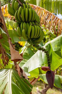 Spice and Herb Garden, Bananen