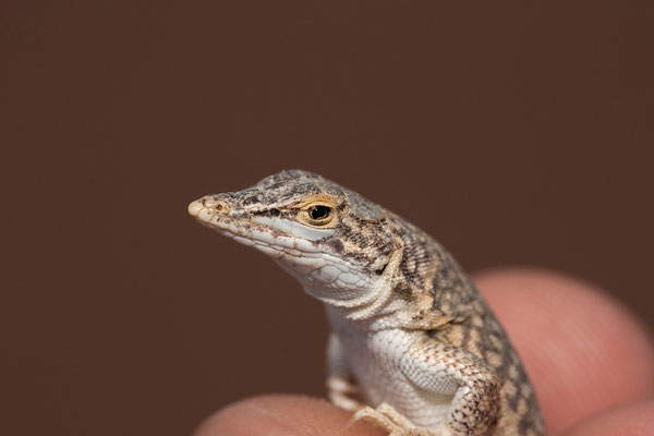 21.2. Reticulated desert lizard (Meroles reticulatus)